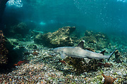 White-tipped Reef Shark (Triaenodon obesus)<br /> Rabida Island,  Galapagos <br /> Ecuador, South America<br /> RANGE: Common in the entire archipelago. North to Costa Rico including offshore islands, also tropical and subtropical Indo-Pacific.