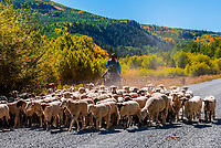A sheep herder herds sheep on horseback over Dunckley Pass in the Flat Tops Wilderness, Colorado USA.