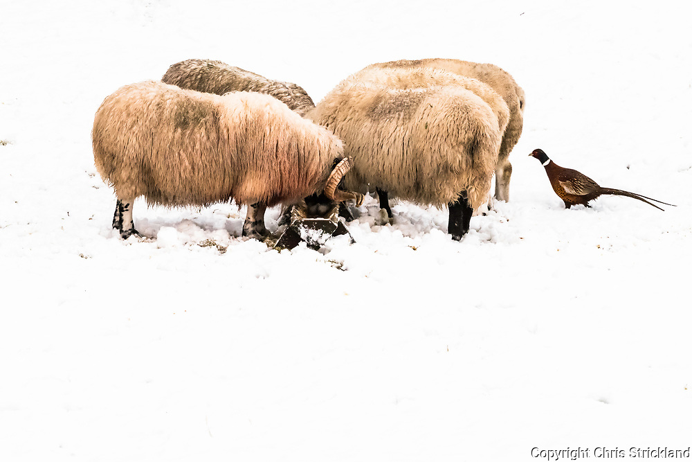 Hownam, Jedburgh, Scottish Borders, UK. 26th December 2017. Rams feed from a trough in a snow covered field as pheasants look for a share.