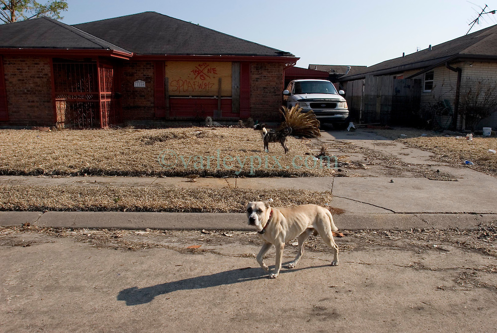 21 Sept 2005. Slidell, Louisiana. Hurricane Katrina aftermath. <br /> The deserted streets and houses of Slidell in Eastern New Orleans as the flood waters finally receded. Wild dogs hang out amidst the empty streets.<br /> Photo; ©Charlie Varley/varleypix.com