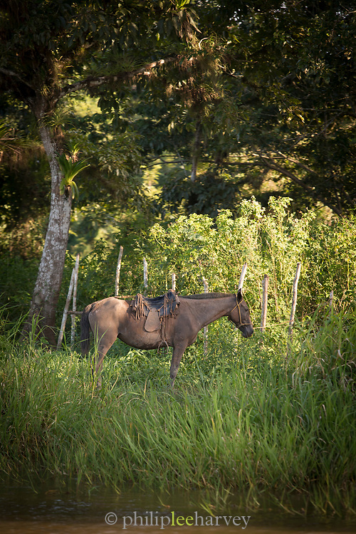 Side view of a horse with a saddle standing on the bank of San Juan River, Nicaragua