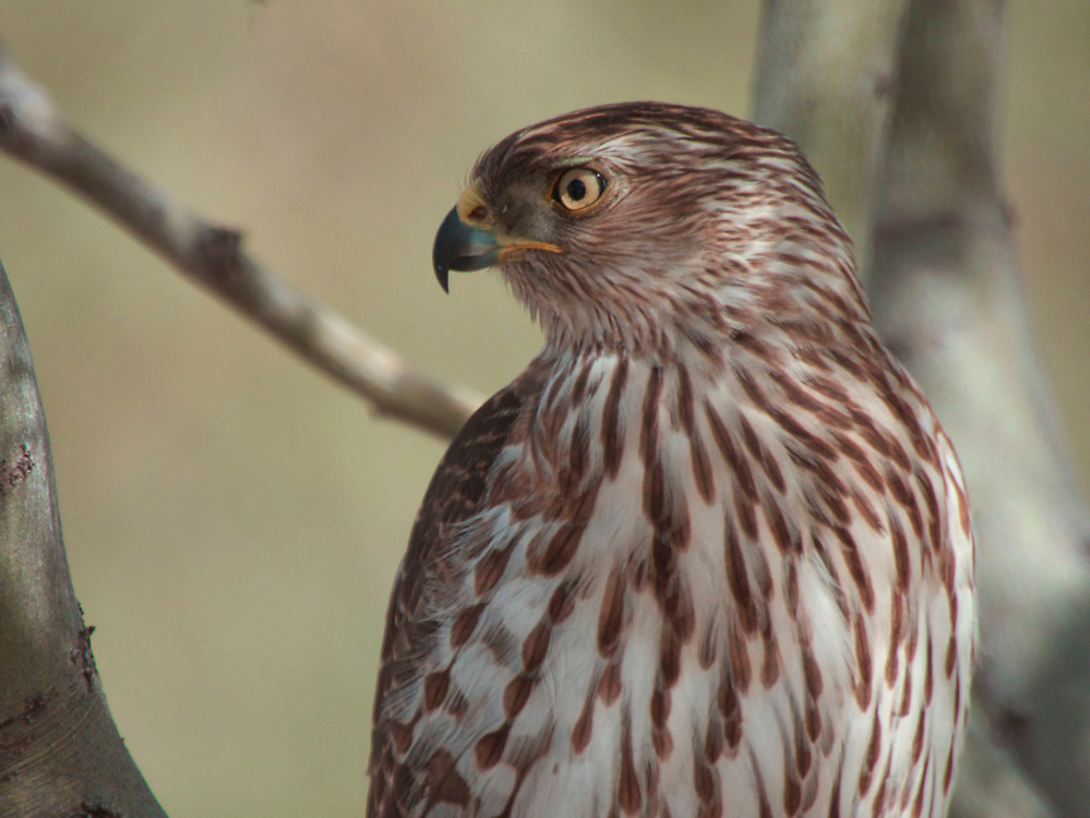 A young Coopers Hawk at my local park in Tucson