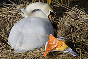 A female mute swan (pen) incubates her eggs on a nest surrounded by plastic bags waste, in an urban water basin. With her beak the same colour as a bag wrapper, she shares the nest with wrappers and bottles, bags and cans tossed from a nearby walkway and perhaps drifted on the water from this urban basin in London's Docklands. The mute swan, which is the white swan most commonly seen in the British Isles, will normally mate at anytime from spring through to summer, with the cygnets being born anytime from May through to July. A swan's nest takes 2-3 weeks and the egg laying process begins with an egg being laid every 12-24 hours. They will all be incubated (ie sat on to start the growth process) at the same time with hatching usually 42 days (6 weeks) later.