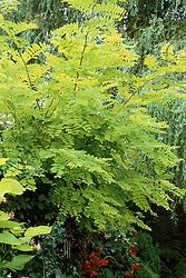 Robinia pseudoacacia 'Frisia' - False acacia
