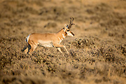 Running pronghorn buck in Wyoming