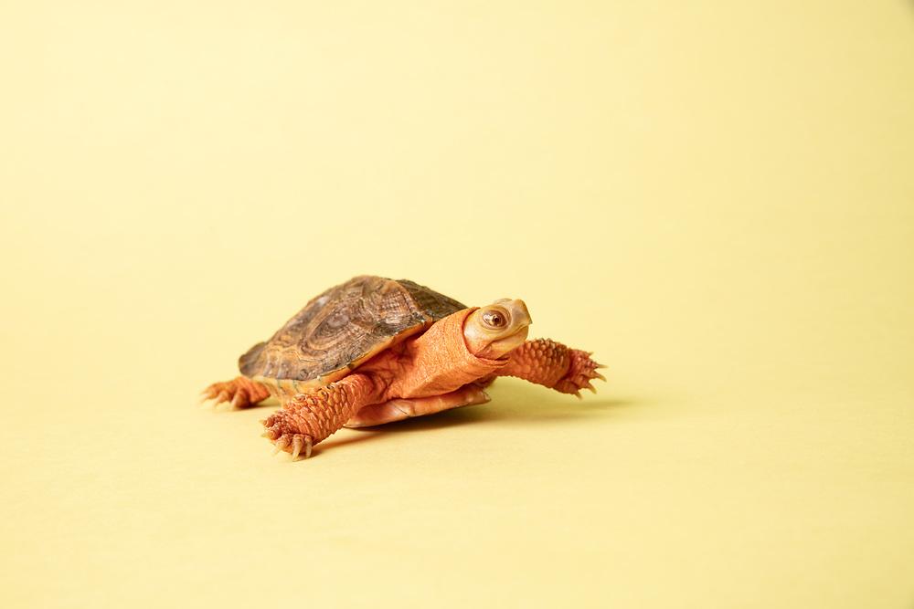Studio Portrait of an albino wood turtle