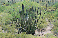 A very large and old organ pipe cactus grows in the Alamo Canyon in Southern Arizona's Ajo Mountains, miles from the Mexican border. This small, remote region of the Sonoran Desert is the only place in the United States to find these incredibly large cacti in the wild.