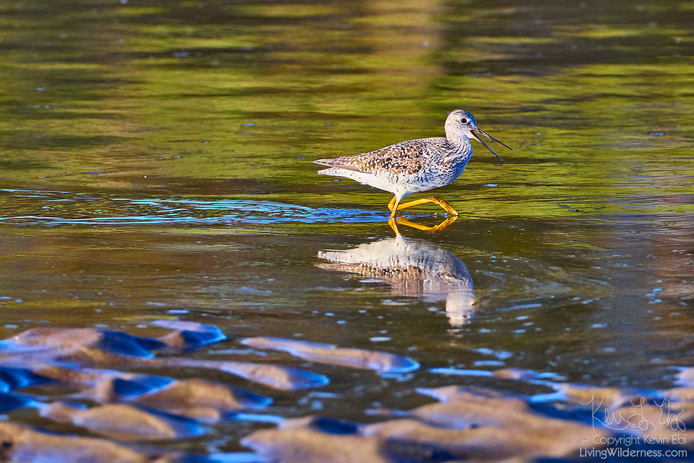 A greater yellowlegs (Tringa melanoleuca) walks in the shallow, muddy water of the Stillaguamish River near Stanwood, Washington. Greater yellowlegs feed on insects, small fish, marine worms, and crustaceans, sometimes using their bills to stir up water.