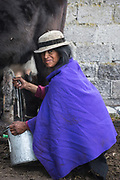 Local Quichua Indians milking her cow<br /> near Chimborazo<br /> Ecuador, South America