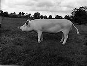 12/09/1960<br /> 09/12/1960<br /> 12 September 1960<br /> Boars at Whitehall, Drumcondra for the Department of Agriculture. Boar No. 4592.