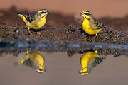 Yellow-fronted canaries (Crithagra mozambica) from Zimanga, South Africa.