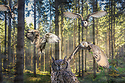 Digitally enhanced image of different owls flying in a forest
