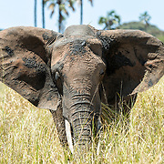 A solitary elephant at Tarangire National Park in northern Tanzania not far from Ngorongoro Crater and the Serengeti.