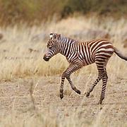 Burchell's Zebra, (Equus burchelli) Baby running. Masai Mara Game Reserve. Kenya.Africa.