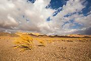 Dead dry grass in the Aravah Desert, Israel