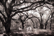 A white horse under the large Oaks in South Carolina.