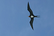 Lesser Frigate Bird, Fregretta ariel, South Pacific<br />