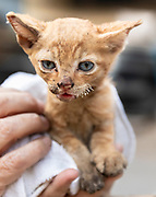 A tiny kitten with burned nose and whiskers was rescued from the North Complex Fire zone with three siblings.  The kittens are curretntly being treated.