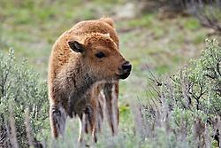 Bison Calf, Grand Teton National Park