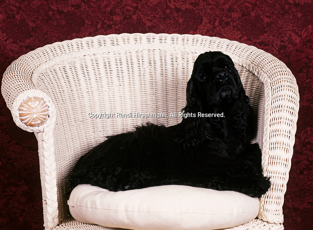 """American Cocker Spaniel, AKC, 5-year-old """"Hanna"""" photographed at Randi's studio and owned by Tricia Mulligan of Palmer, Alaska.     (PR)"""