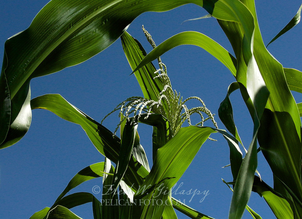Central Coast Corn Closeup
