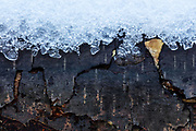 A layer of icy snow rests on a decaying log from a downed alder tree in Snohomish County, Washington.