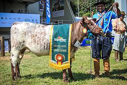 Grande Campeã da raça Shorthorn durante a  38ª Expointer, que ocorrerá entre 29 de agosto e 06 de setembro de 2015 no Parque de Exposições Assis Brasil, em Esteio. FOTO: Vilmar da Rosa/ Agência Preview