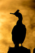 Common shag in silhuette at Hornøya, Finnmark, Norway.