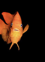 Garibaldi, Hypsypops rubicundus, Damselfish cruising the pacific ocean