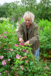 Carol Klein deadheading rose. Rosa gallica var. officinalis 'Versicolor' - Rosa mundi rose, Apothecary's rose, French rose