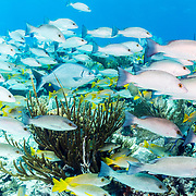 Schools of fish including grunts, snappers and chubs swim along a coral reef in the marine protected area of the Exuma Cays Land and Sea Park, Bahamas