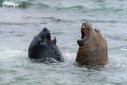 Young, fighting elephant seals (Mirounga leonina) from Sea Lion Island, the Falkland Islands.
