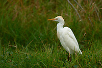Cattle Egret (Bubulcus ibis), Arthur R Marshall National Wildlife Reserve - Loxahatchee, Florida, USA.