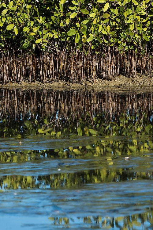Black Mangrove Trees (Avicennia germinans)<br /> Santa Cruz<br /> Galapagos<br /> Ecuador<br /> South America