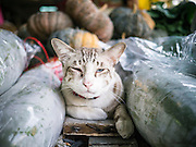 17 MAY 2013 - BANGKOK, THAILAND:   A house cat rests in the flower market in Bangkok. The Bangkok Flower Market (Pak Klong Talad) is the biggest wholesale and retail fresh flower market in Bangkok. It is also one of the largest fresh fruit and produce markets in the city. The market is located in the old part of the city, south of Wat Po (Temple of the Reclining Buddha) and the Grand Palace.   PHOTO BY JACK KURTZ