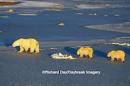 01874-01116 Polar Bears (Ursus maritimus) female with 2 cubs walking on frozen pond  Churchill  MB
