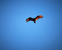 Turkey Vulture soaring in the afternoon sun. Image taken with a Nikon Df camera and 70-200 mm f/2.8 lens (ISO 400, 200 mm, f/2.8, 1/1600 sec).