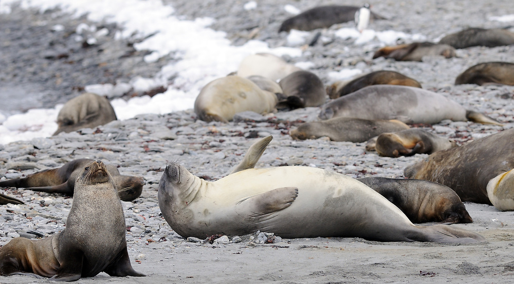 Young Southern Elephant Seals (Mirounga leonina) and   Antarctic fur seals (Arctocephalus gazella) rest on the beach at  Shingle Cove. Shingle CoveCoronation Island, South Orkney Islands, Antarctica. 28Feb16