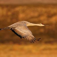 Sandhill Crane in flight in early morning light in Bosque del Apache NWR New Mexico.