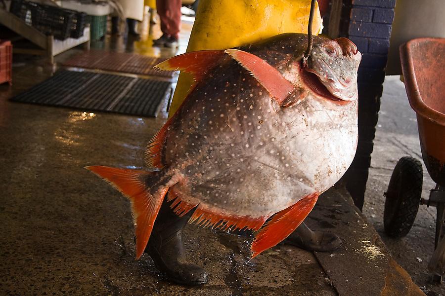 A fisherman carries a large unidentified fish suspended by an iron hook through the Mercado de Mariscos (Fish Market) in Ensenada, Baja California Norte, Mexico.