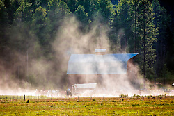 Horses, barn, dust. A remuda returns to pasture in Jackson Hole Wyoming after a hard days work.