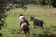 Young boy Gaucho cowboy Brazilian riding a horse, rounding up cattle. Working Gaucho Fazenda in Rio Grande do Sul, Brazil.