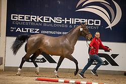 016, Sweet Chilli-K van Kattenheye<br /> BWP Hengstenkeuring 2021<br /> © Hippo Foto - Dirk Caremans<br />  11/01/2021