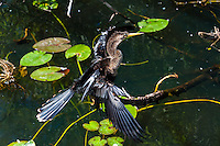 US, Florida, Everglades. Anhinga Trail Boardwalk. Anhinga.