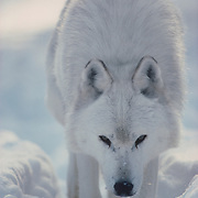 Alpha male gray wolf walking through snowy timber during winter. Captive Animal