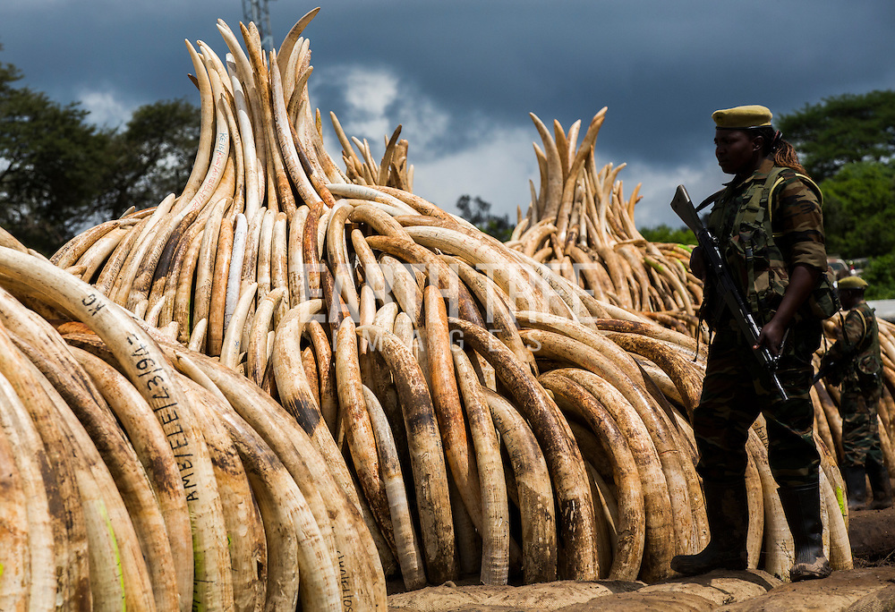 A guard stands by the burning of more that 100 tonnes of Elephant tusks and Rhino horns in Kenya. The tusks alone - from about 8,000 elephants - would be worth more than $105 million on the black market. Conservationists worry that there is a a real threat of elephants becoming extinct in the next 50 years because of poaching bankrolled by the illegal trade in ivory. Photo: Paul Hilton
