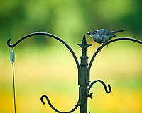 Gray Catbird. Image taken with a NikonD850 camera and 200 mm f/2 VR lens