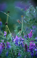 A spider sits in his web amongst purple wildflowers in Mongolia.