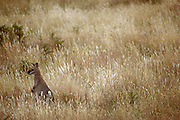 Kangaroo. Australia.
