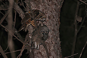 Juvenile Long-eared Owl (Asio otus) in a tree. This owl inhabits woodland near open country throughout the northern hemisphere. It is strictly nocturnal and feeds mainly on small mammals such as mice and voles Photographed in Israel in June